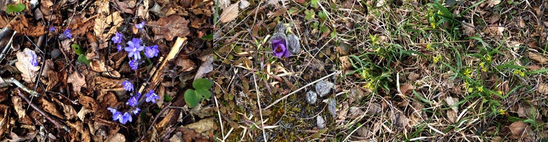 Vårens blommor i Calmare Hage; blåsippa, backsippa och vårlök. Fotograf: Ingvar Åslund