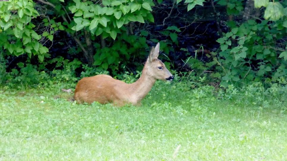 Et rådjur som vilar i buskagen nedanför mun tomt. Fotograf; Ingvar Åslund