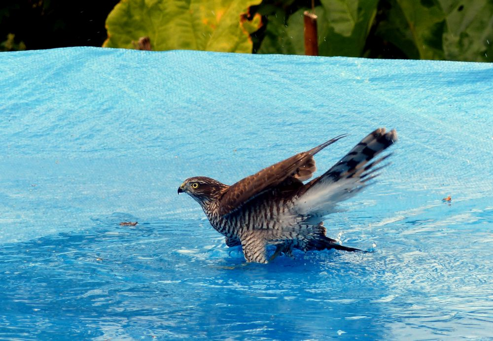 September. Sparvhök badar i pool. Fotograf: Ingvar Häll
